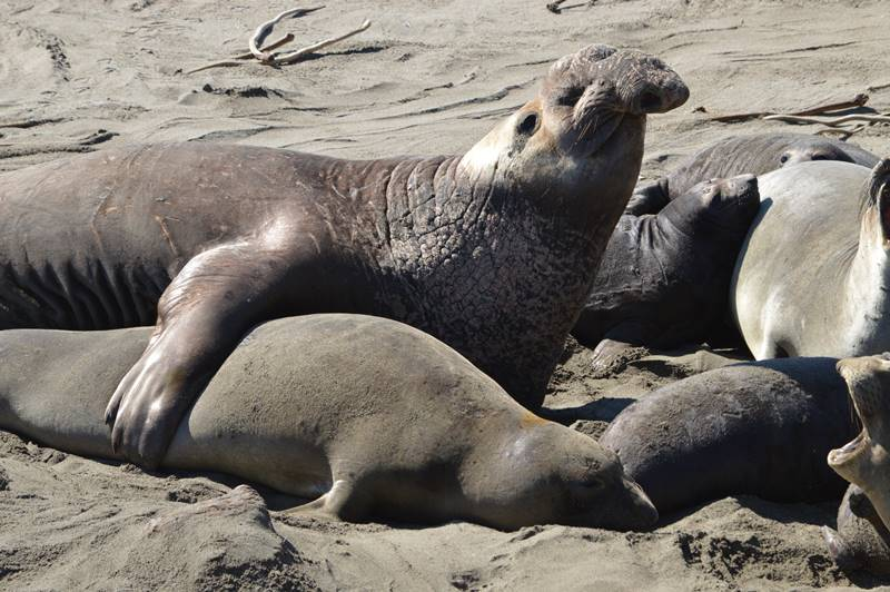 Photo of elephant seals by Sharon Bamber