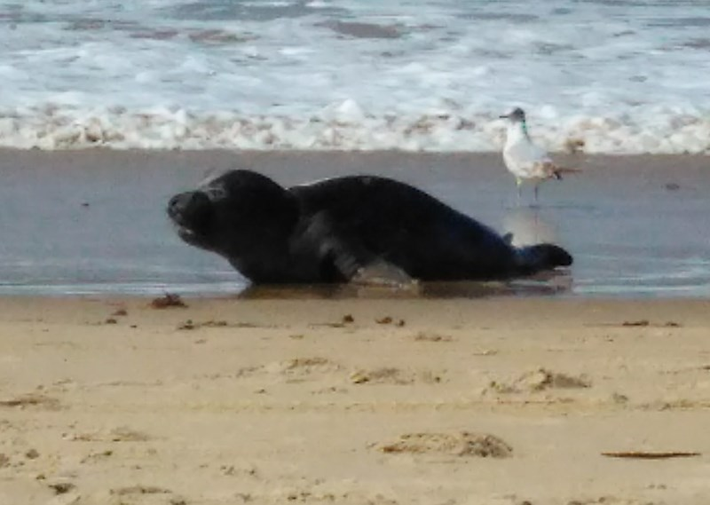 Elephant Seal pup waiting to be rescued photo by Sharon Bamber